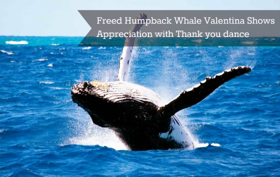 Valentina the Young Humpback Whale Thanked Her Rescuers with a Splashy Thank You Dance via wildlife virals